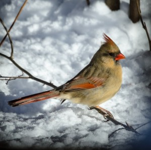 Female Cardinal in Snow by: Sal DeFini