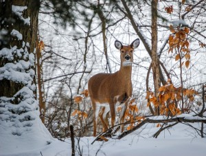 Winter Deer by: Sal DeFini