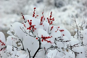 Winter Berries by: Cheryl Martinelli
