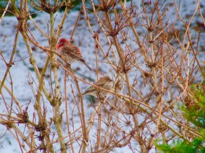 House Finches by:  Susan Lamphier