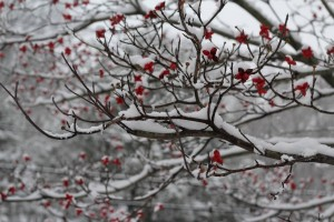 Snow covered Dogwood Berries by: Alison Shears