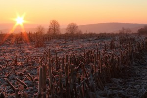 Frozen Cornfields by: Alison Shears