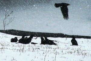 Snow Crows by: Clarice Azzoni