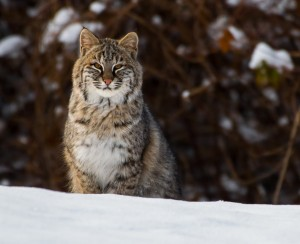Bobcat by: Doreen Bequary