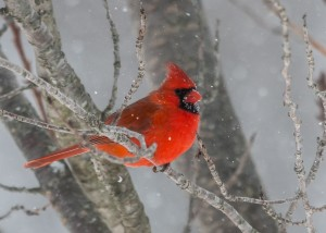 Northern Cardinal by: Doreen Bequary