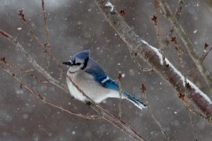 Bluejay by: Doreen Bequary