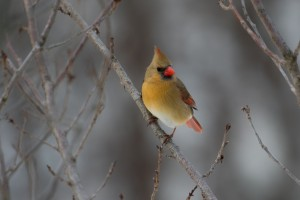 Female Cardinal by: Doreen Bequary
