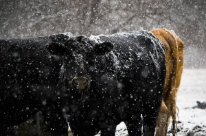Cold Cows by: Venisa Riebe